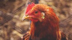 Nowe ogniska ptasiej grypy