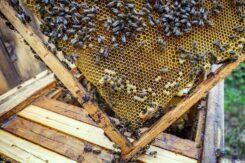 Wielki Dzień Pszczół. Warto docenić ich rolę w przyrodzie